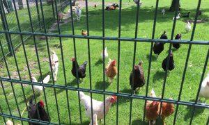 dierenweide-kippen